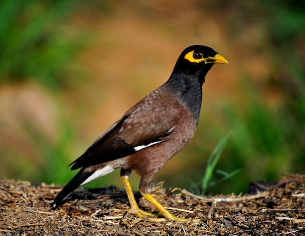 Common Myna Humane Reduction