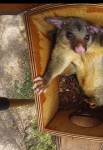 Brushtail Possum in nest box