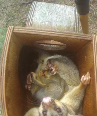 Brushtail possum and joey