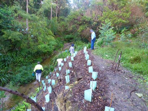 Perrin Creek planting at D'arcy Rd bank
