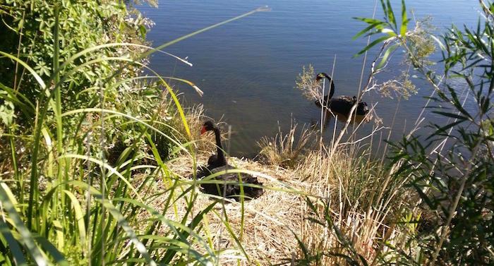 Black Swan Lake