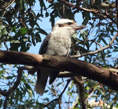 kookaburra on bushwalk