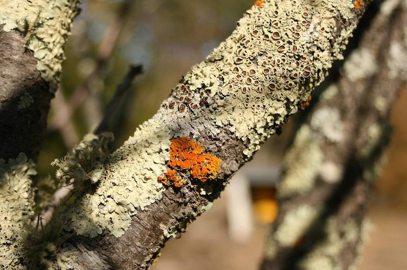 Lichen in Karawatha Forest