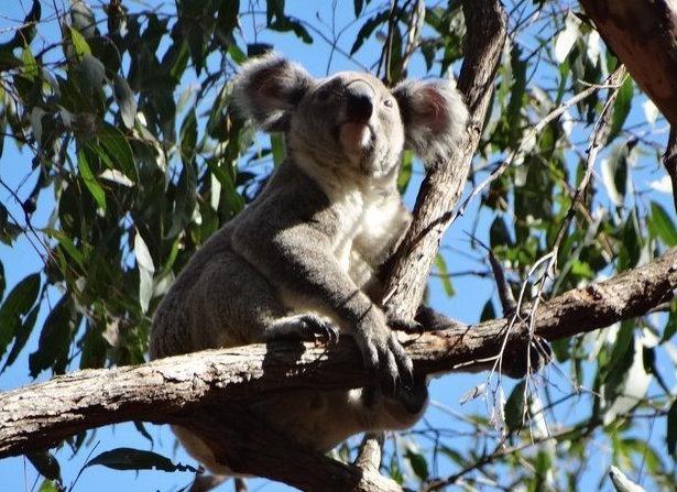 Belmont Koala Forest