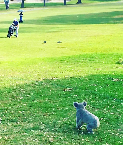 koala at Pacific Golf Club